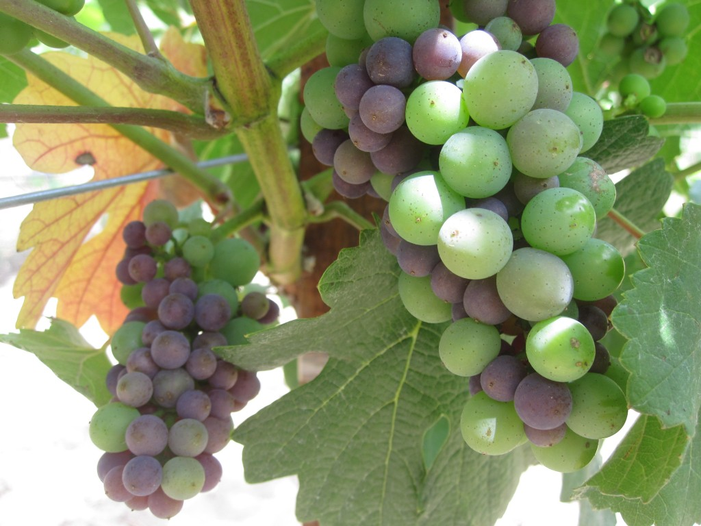 Veraison_fruit