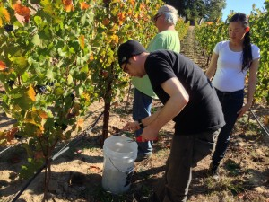 Harvesting second crop fruit