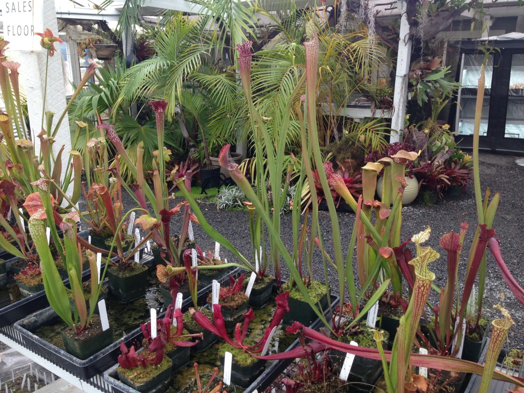 Pitcherplants_CaliforniaCarnivores