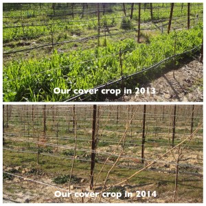 Covercrop_drought2pics