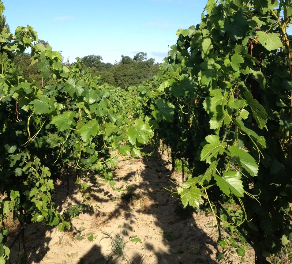 Vineyard before...