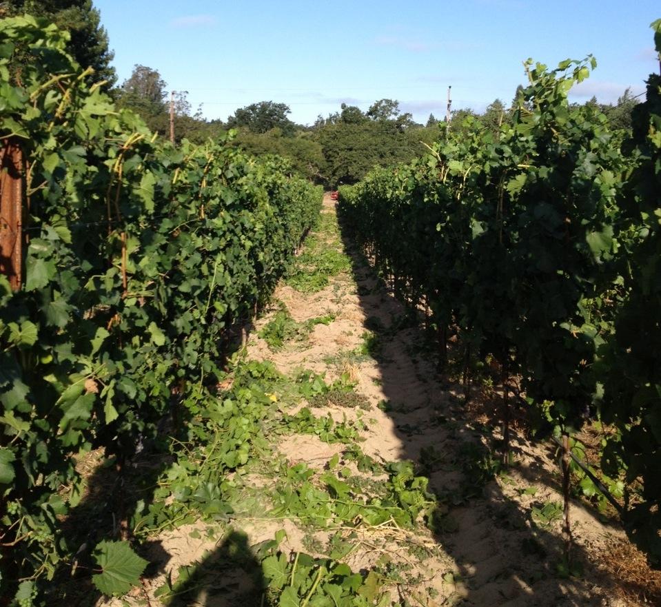 Vineyard after...