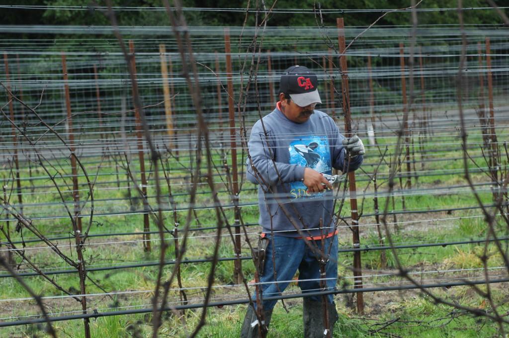 Pruning Pinot Noir