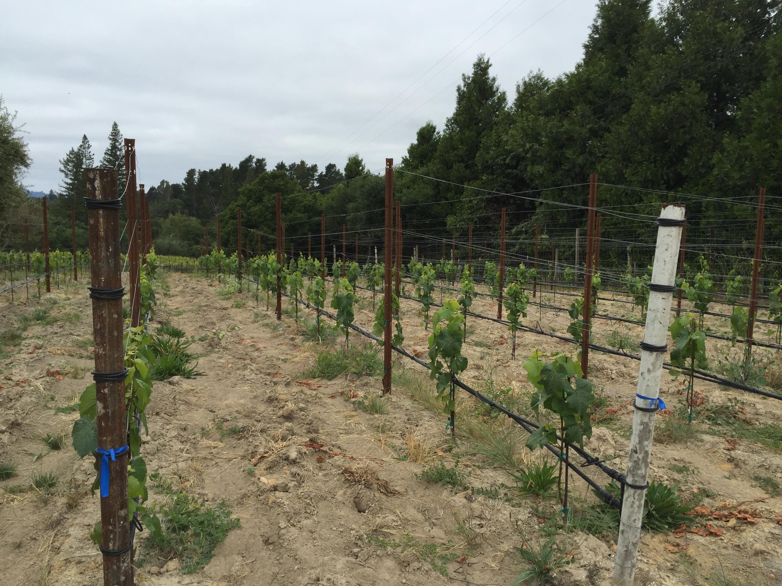 Rows of well-trained trunks in Celeste's block at Gantz Family Vineyards