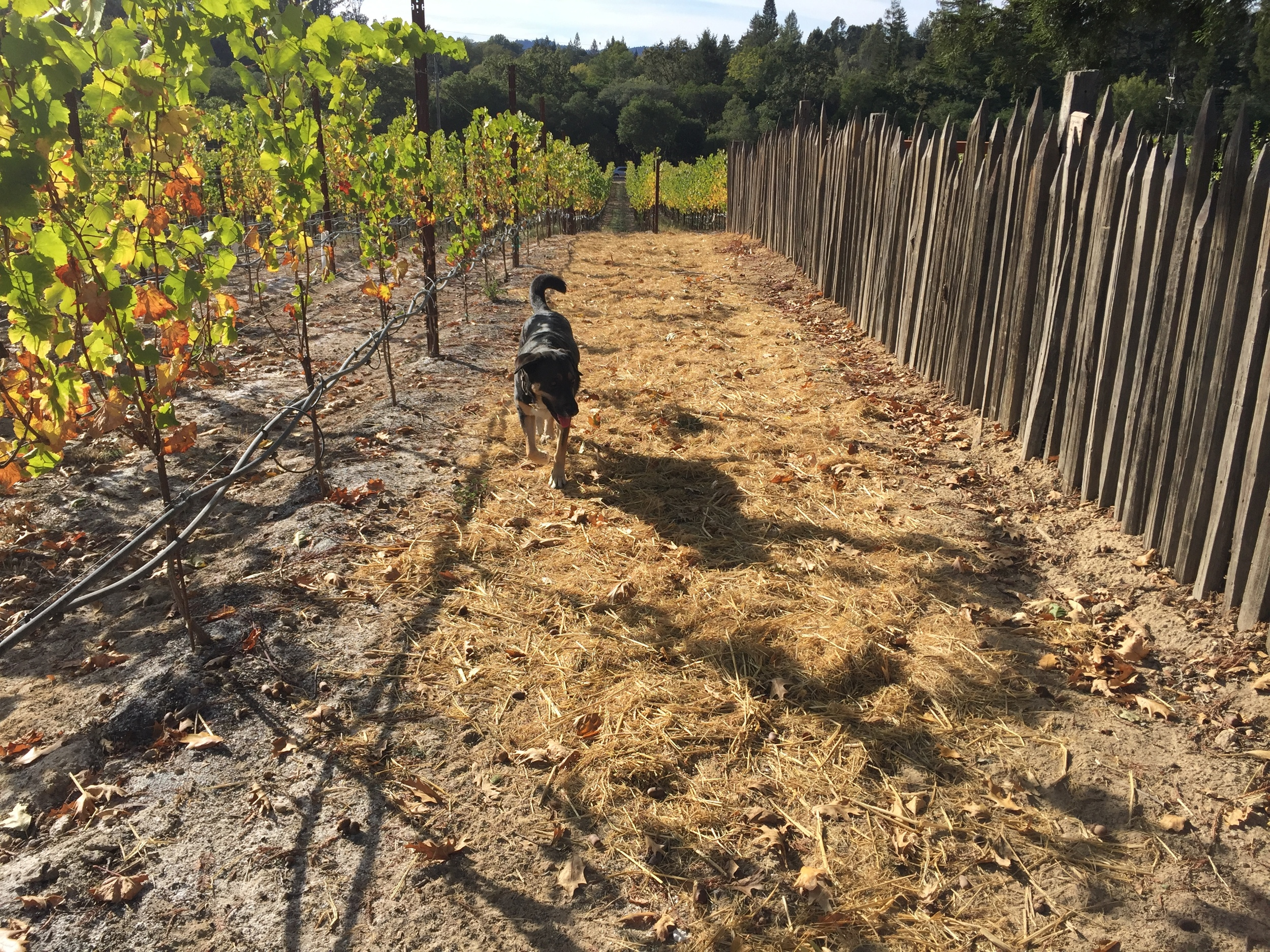 Cover crop and hay at Gantz Family Vineyards