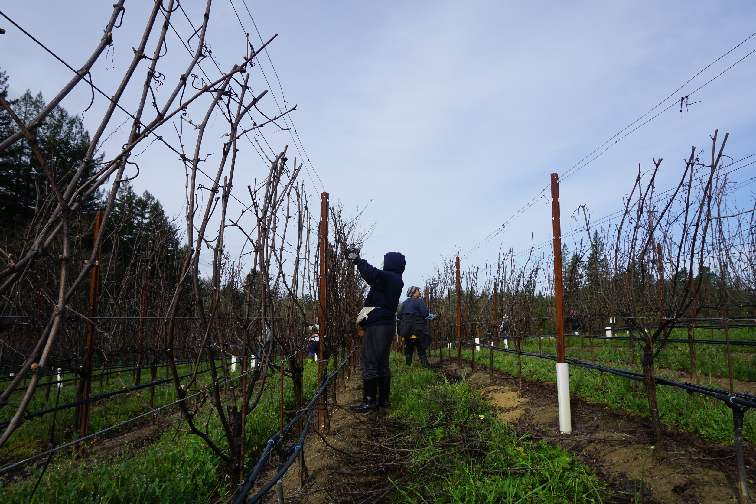 Pruning at Gantz Family Vineyards