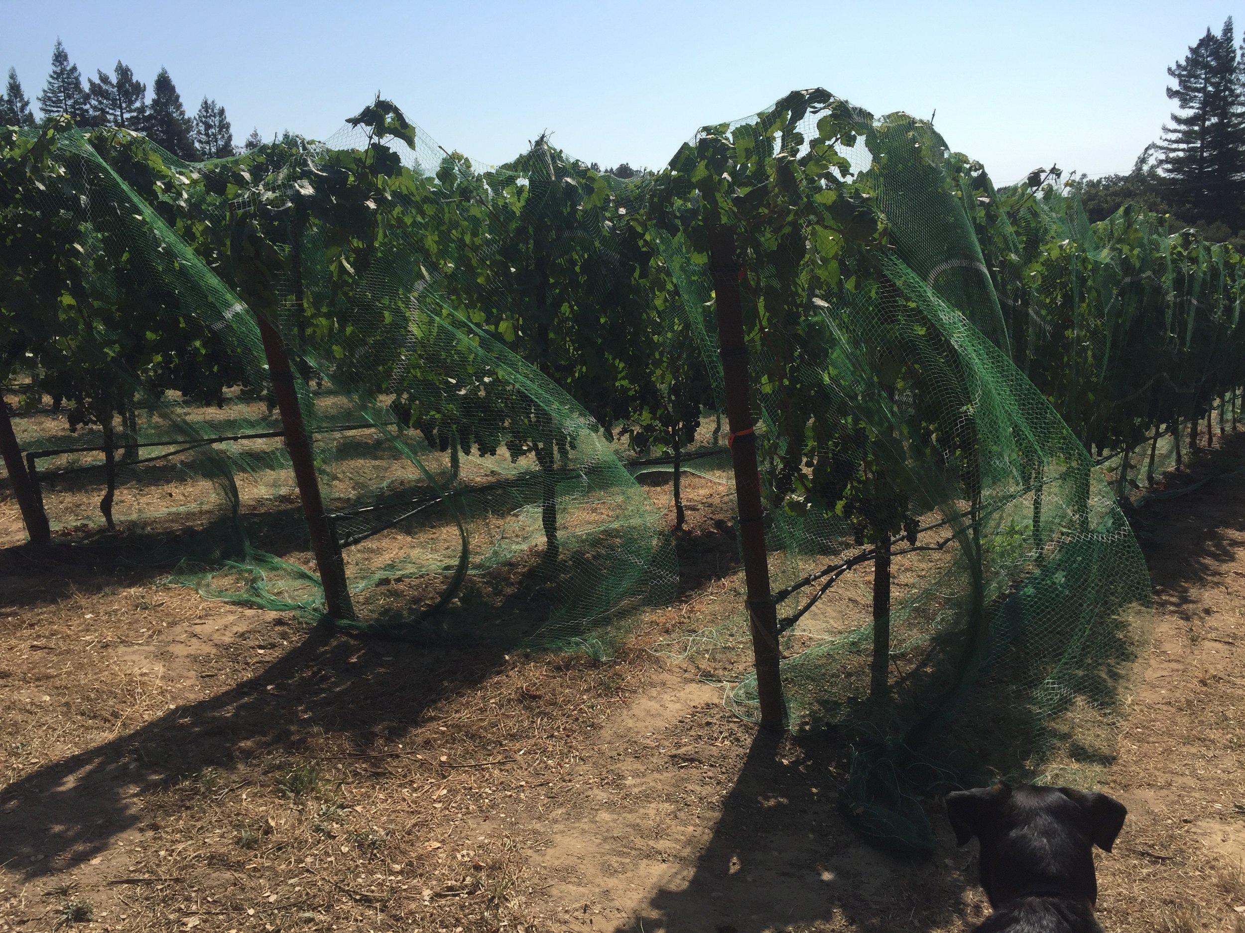 Bird Netting Revisited — Gantz Family Vineyards