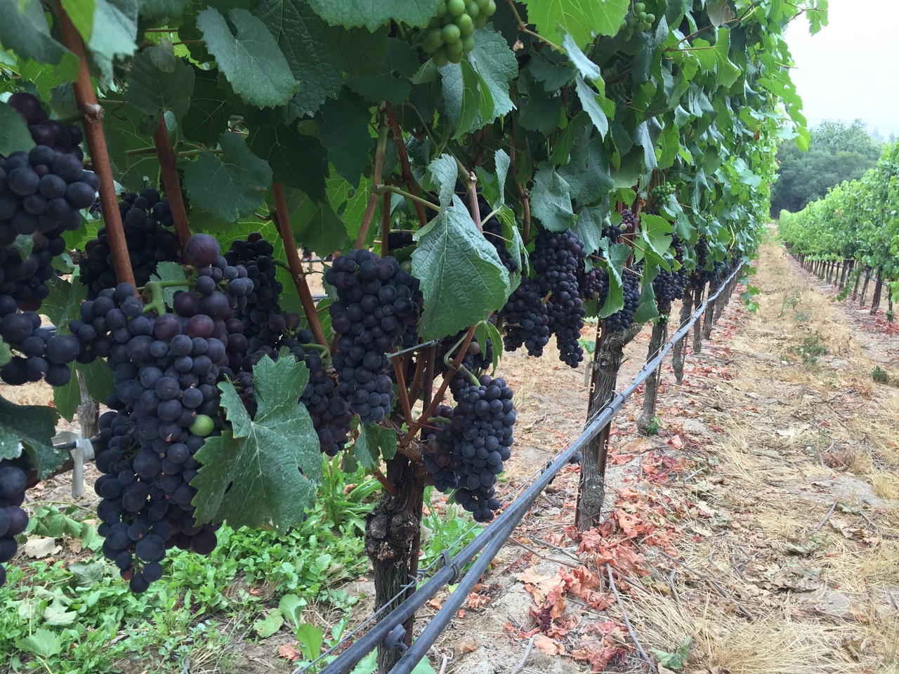 Our Pinot Noir fruit from 2018.