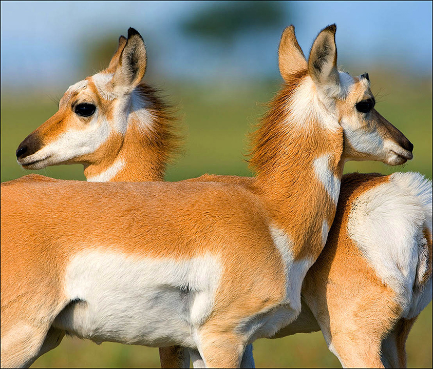 Pronghorn Twins