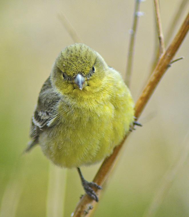 Yellow Walbler