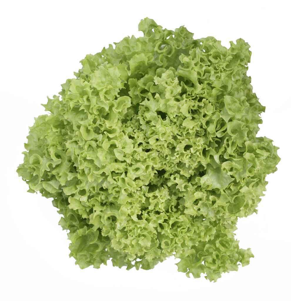 Green Lolo Bionda Lettuce