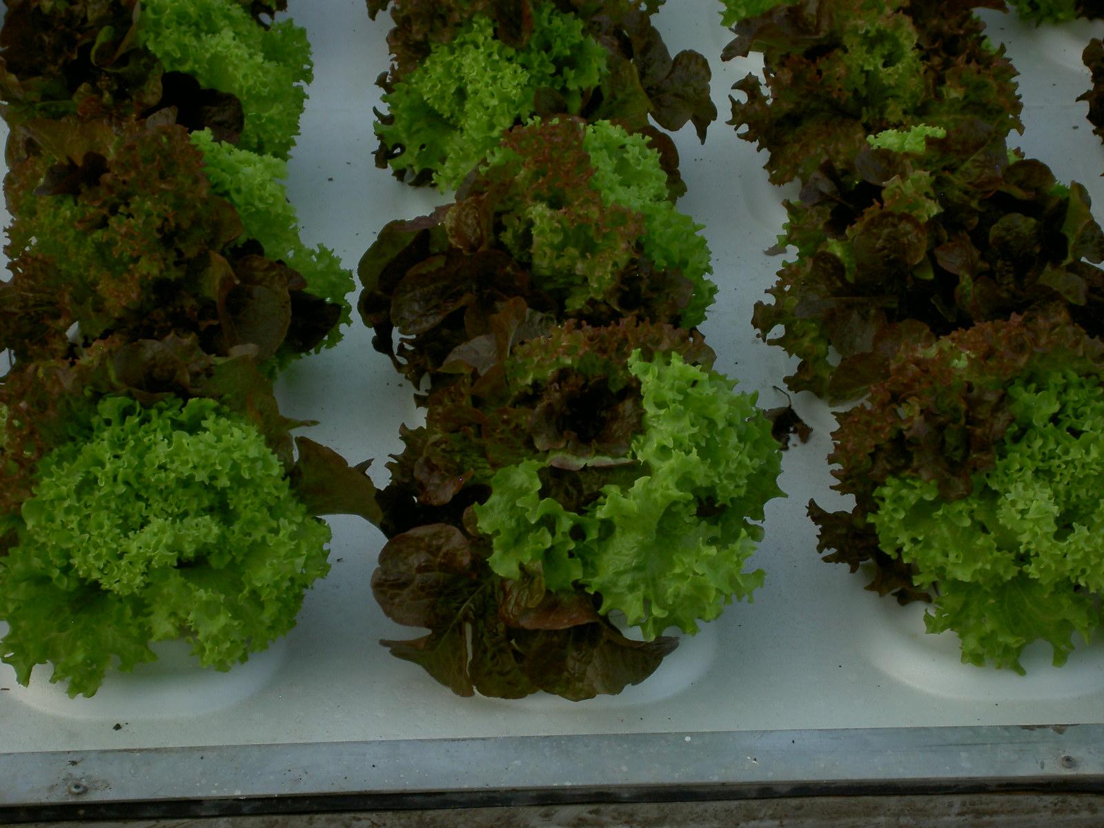 Salad Trio Lettuce