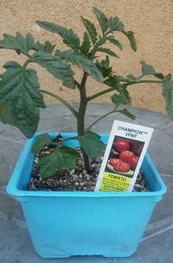 'Champion (TM) VFNT' -Tomato
