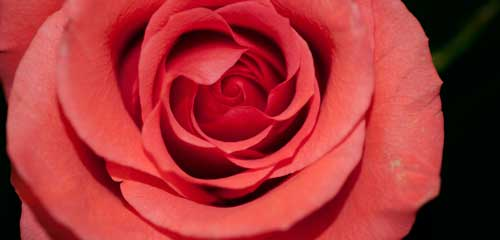 red-rose-main-picture-500x300.jpg