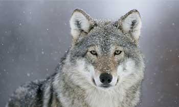 wolverine-500x300.jpg