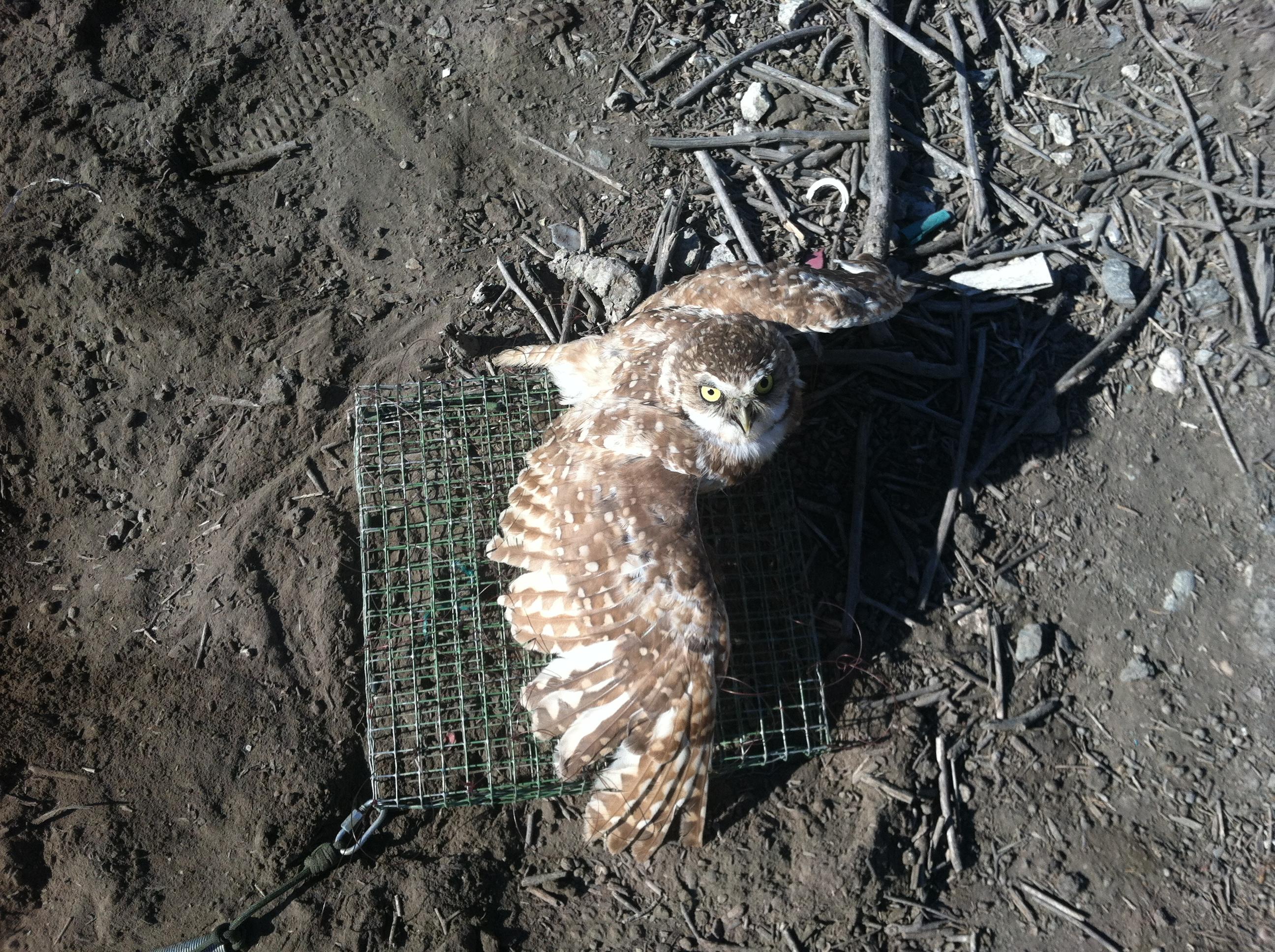 Burrowing Owl Capture - Seal Beach.JPG