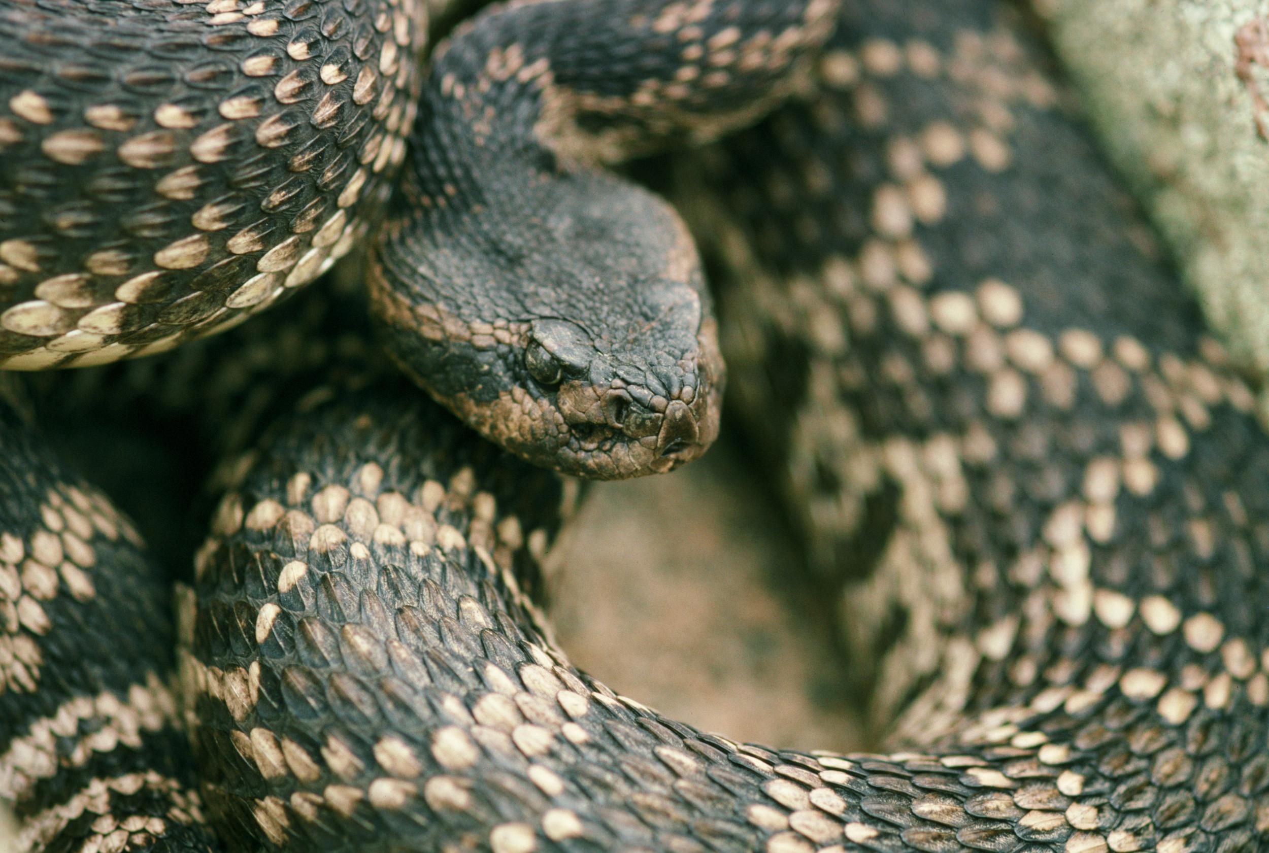 rattlesnake3.jpg