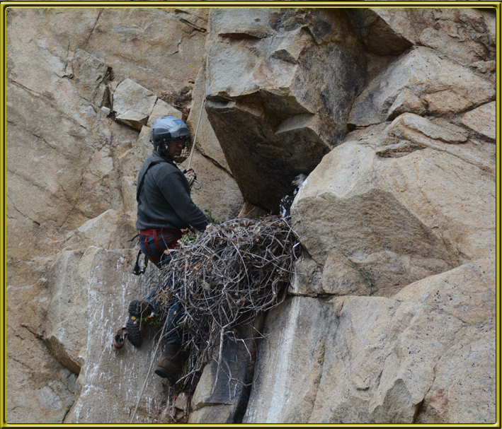 BBI staffer checking raptor nest