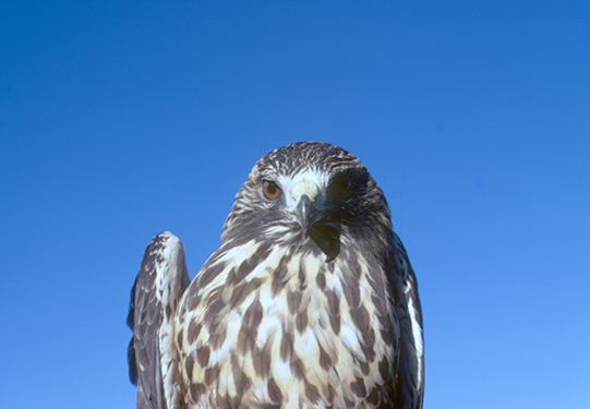 Immature Swainson's Hawk
