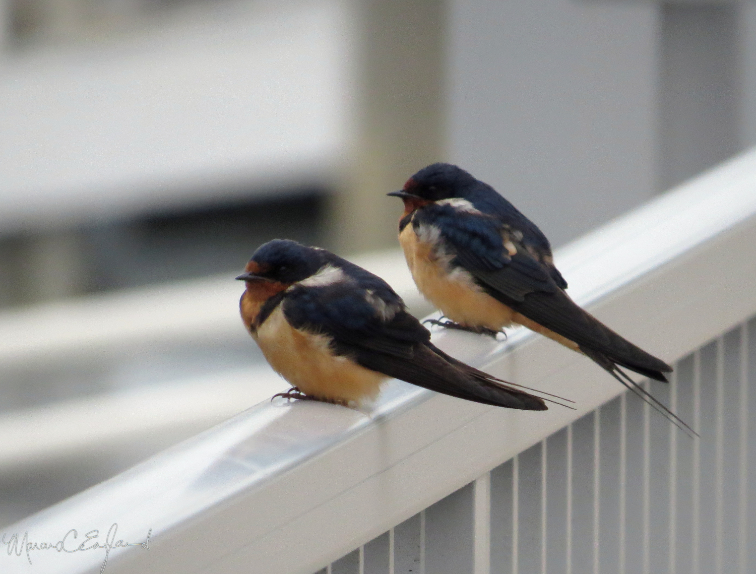 A pair of Barn Swallows in Marina del Rey. Photo by Marcus C. England.