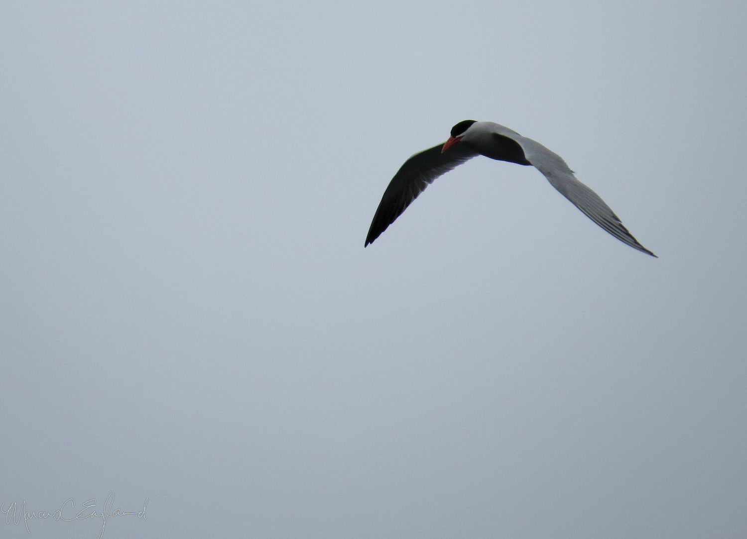 A Caspian Tern flies over the Ballona Channel. Photo by Marcus C. England.
