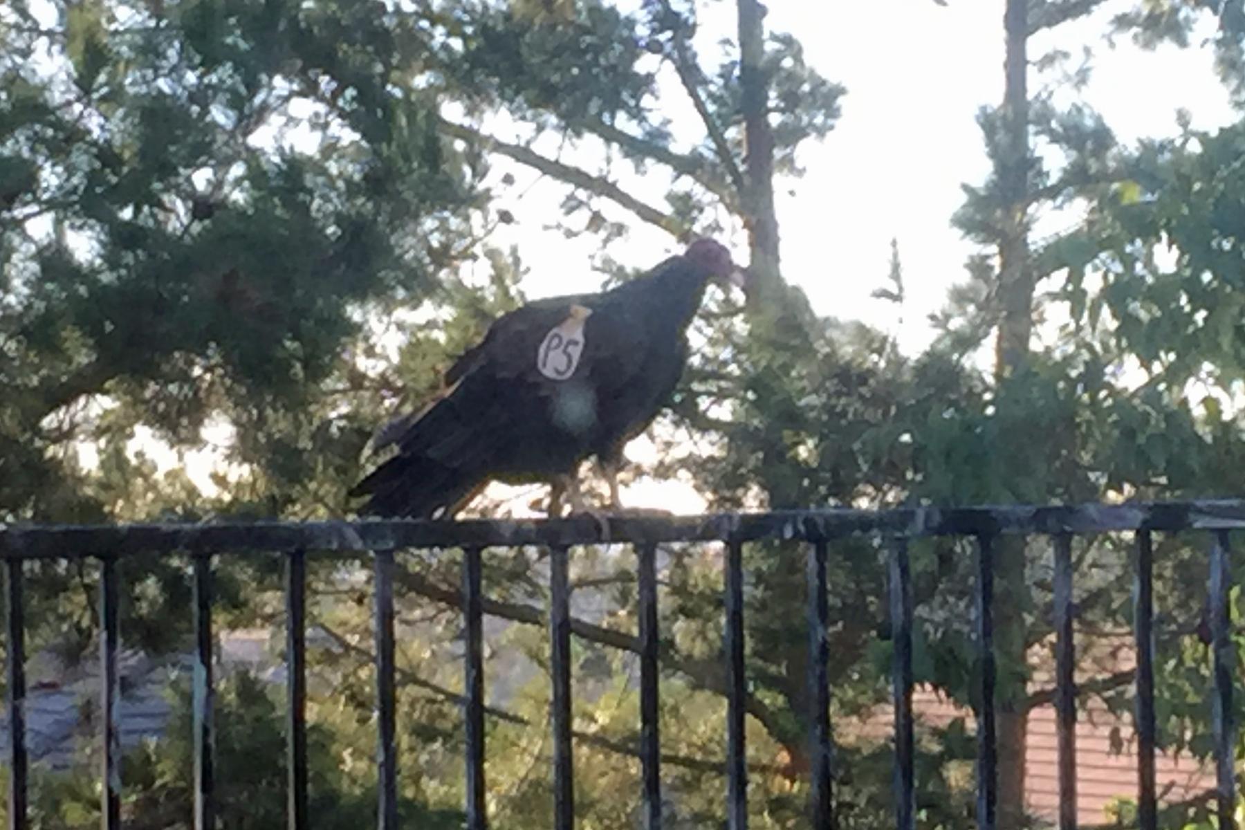 Turkey Vulture P5