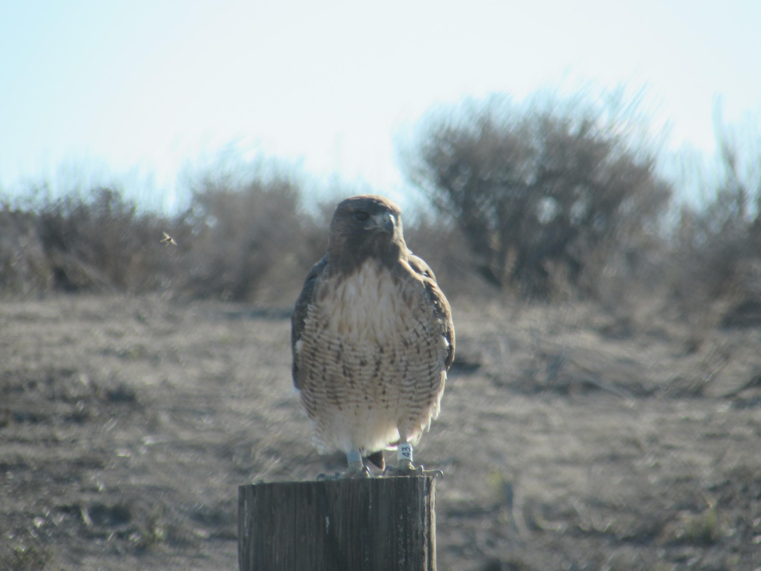 Red tailed hawk - white-43 left leg