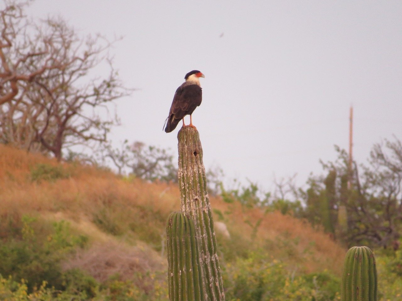 """Crested Caracara on a saguaro cactus. Photo taken in southern Baja California Sur, Mexico by Marcus C. England."""