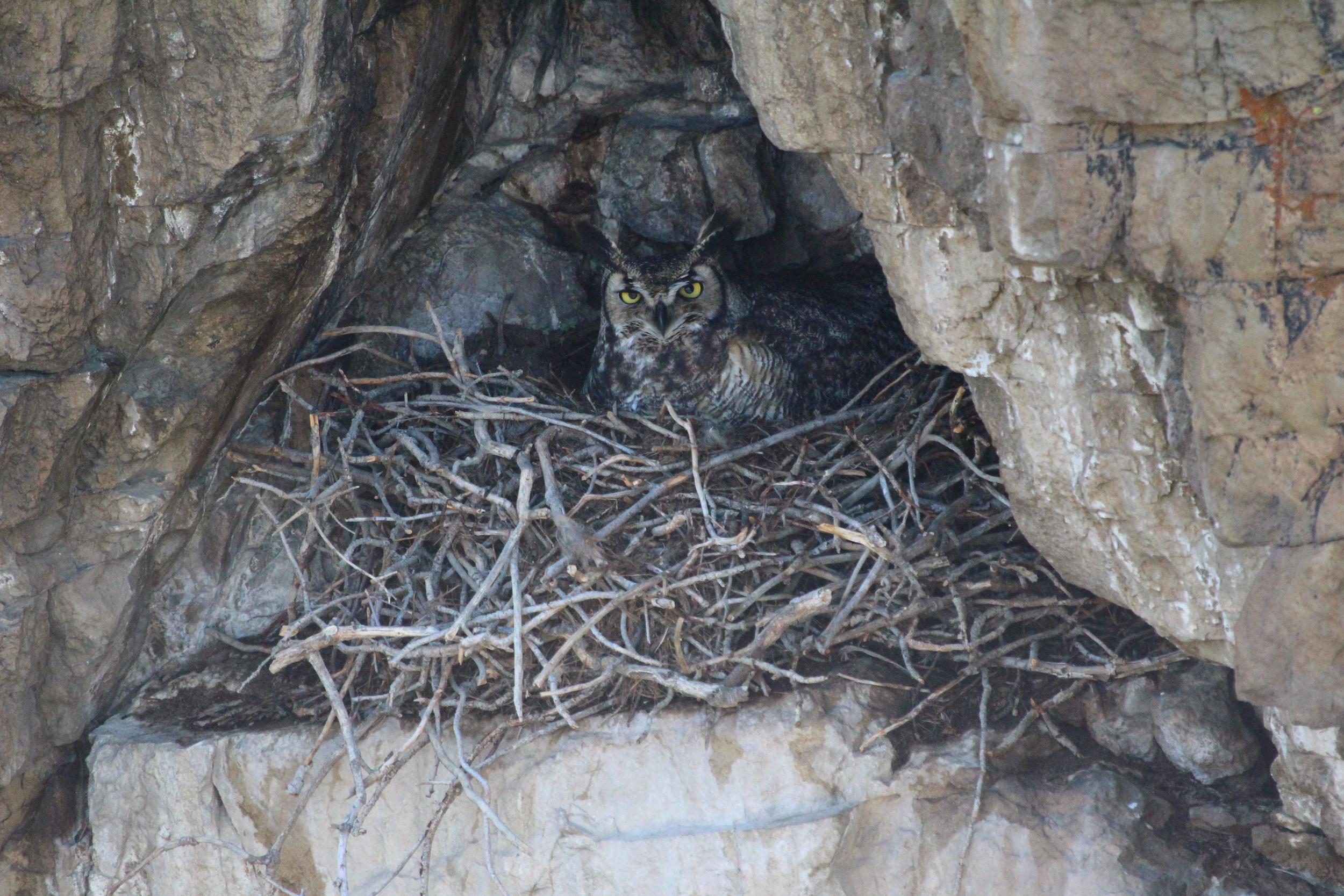Great Horned Owl Photo courtesy of Michael Kuehn