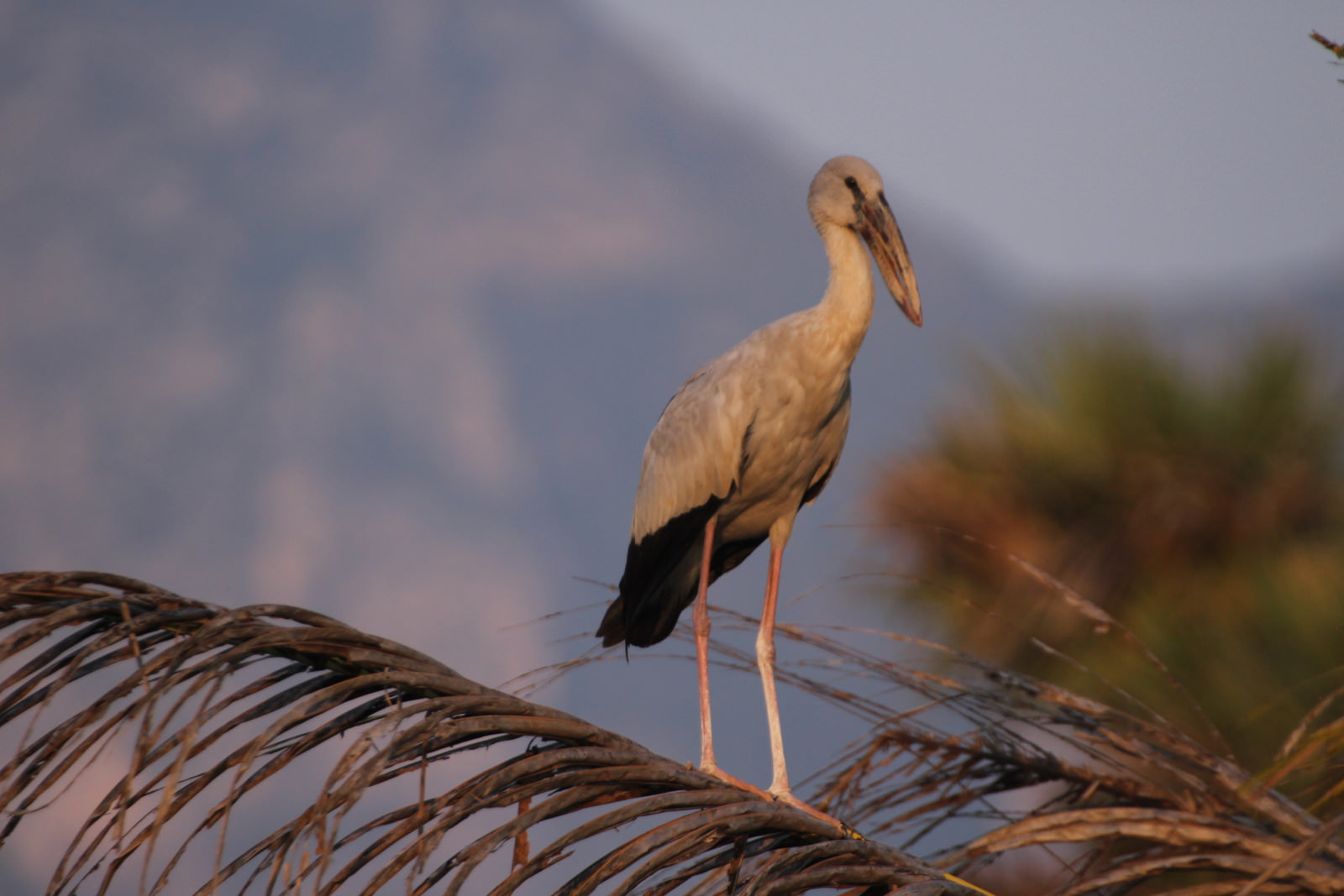 Asian Openbill, Anastomus oscitans