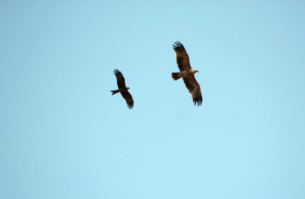 Black Kite and Eastern Imperial Eagle