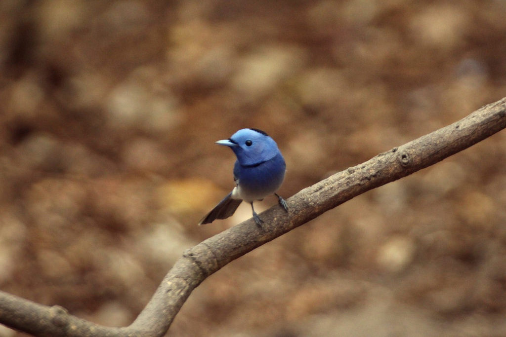 Blue-naped Monarch