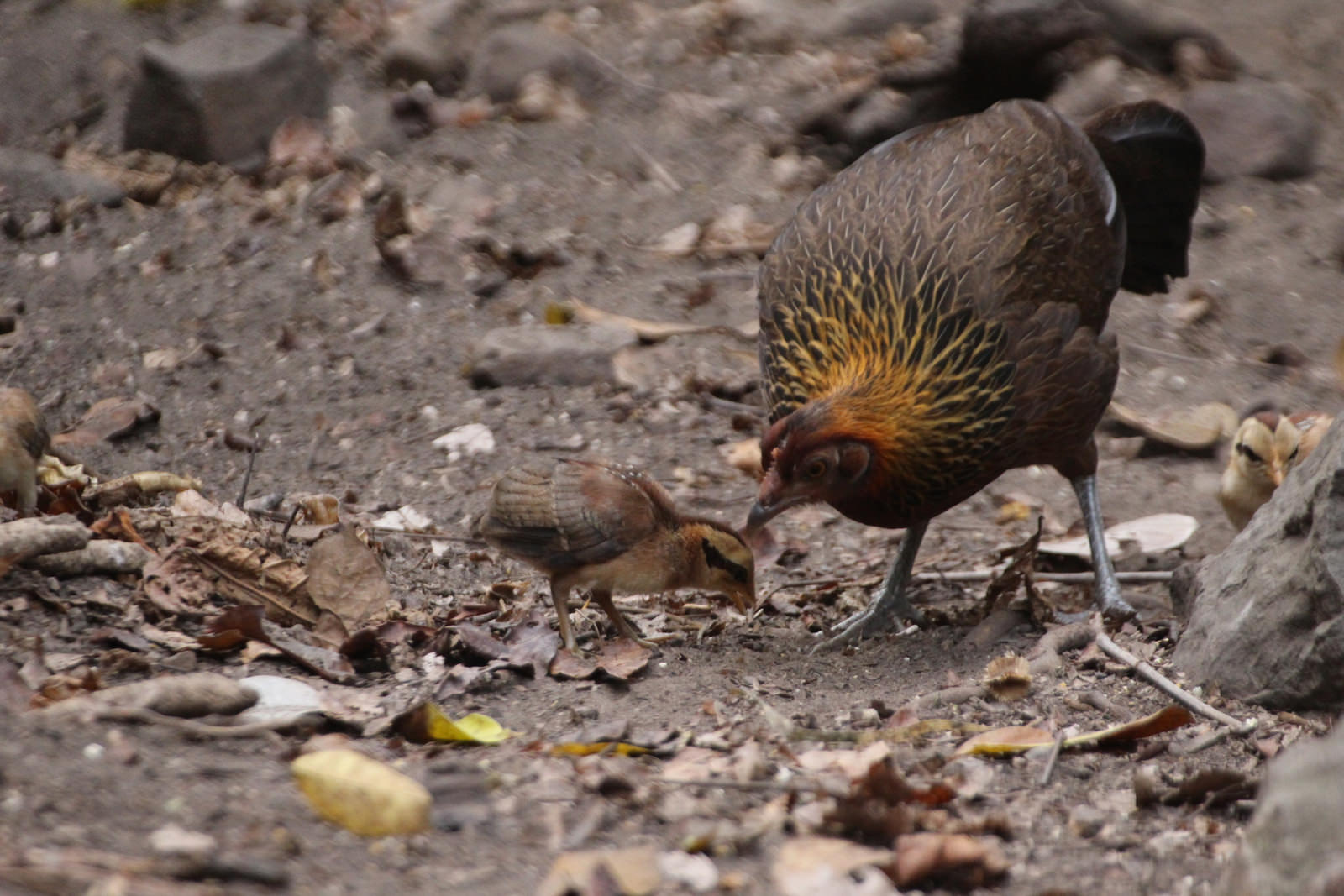 Female and chicks, Red Junglefowl