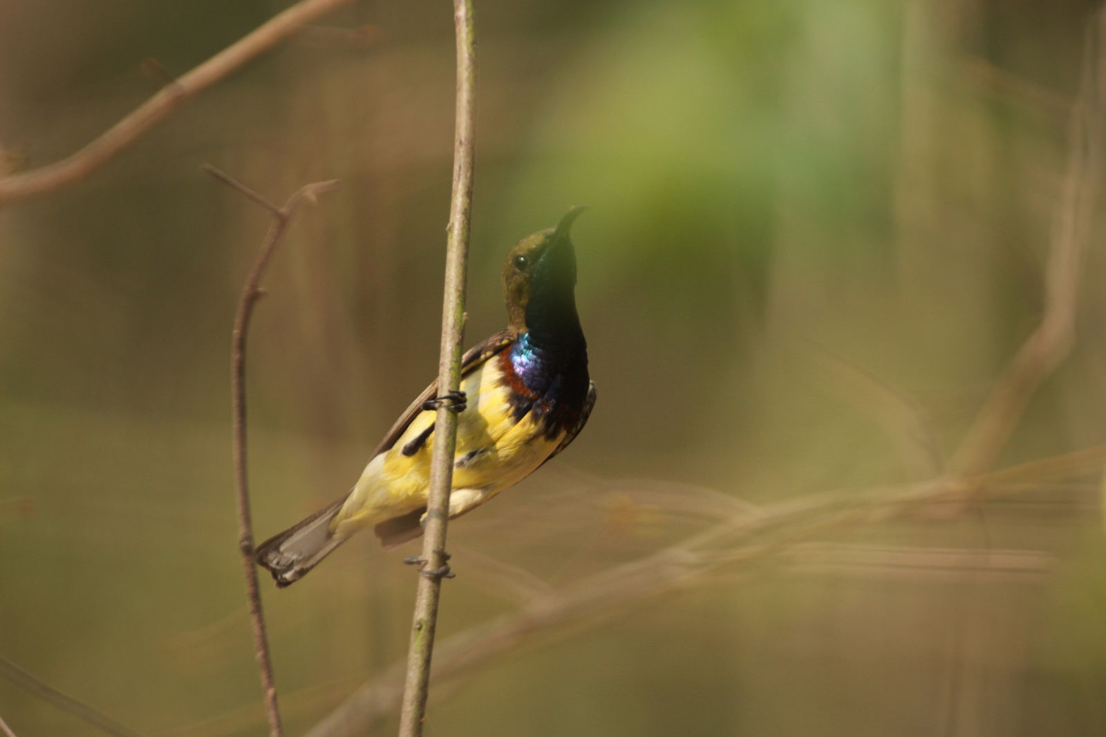 male, Olive-backed Sunbird