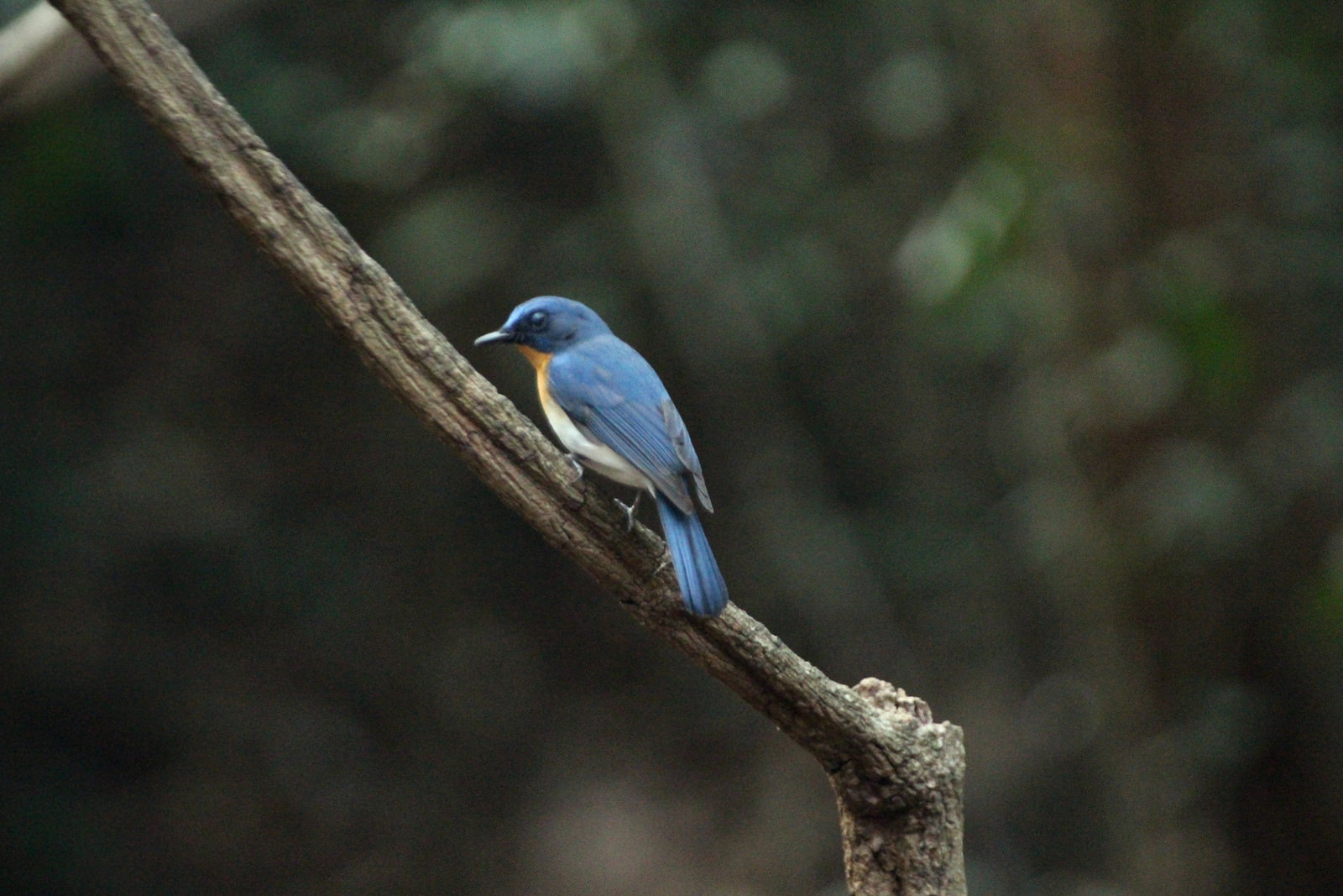 Male, Tickell's Blue Flycatcher, Cyornis tickelliae