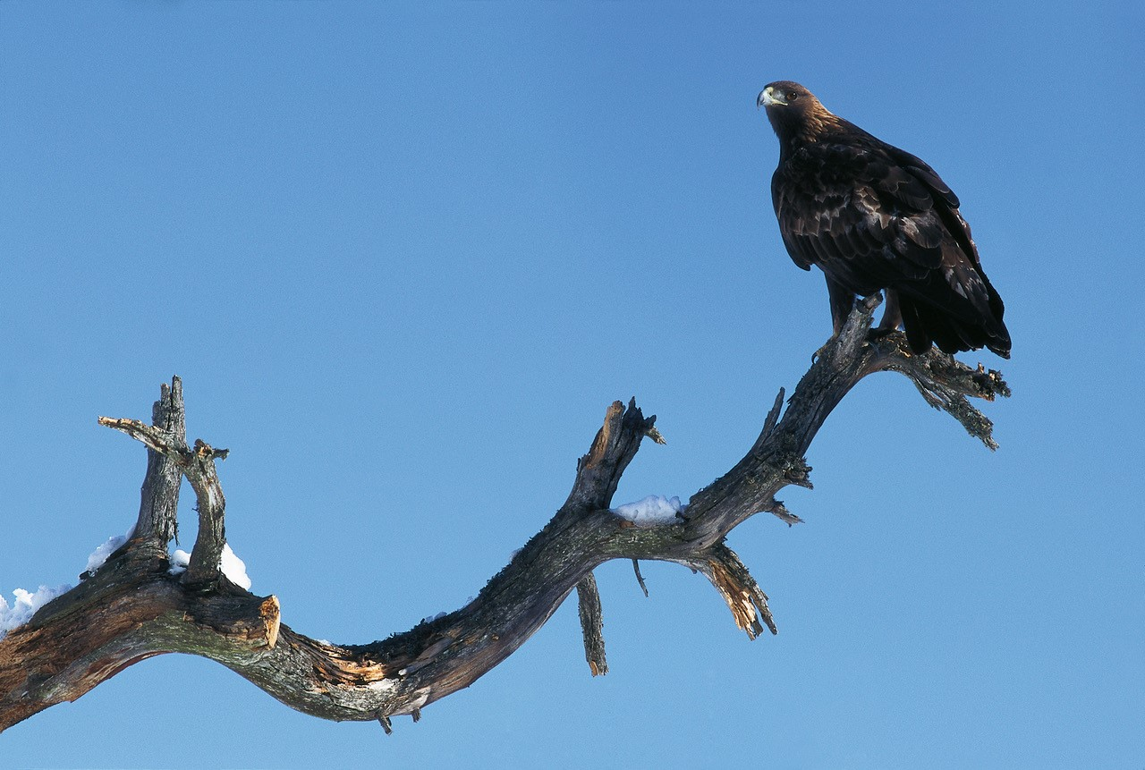 A Golden Eagle photographed above Conthey (copyright R. Arlettaz).