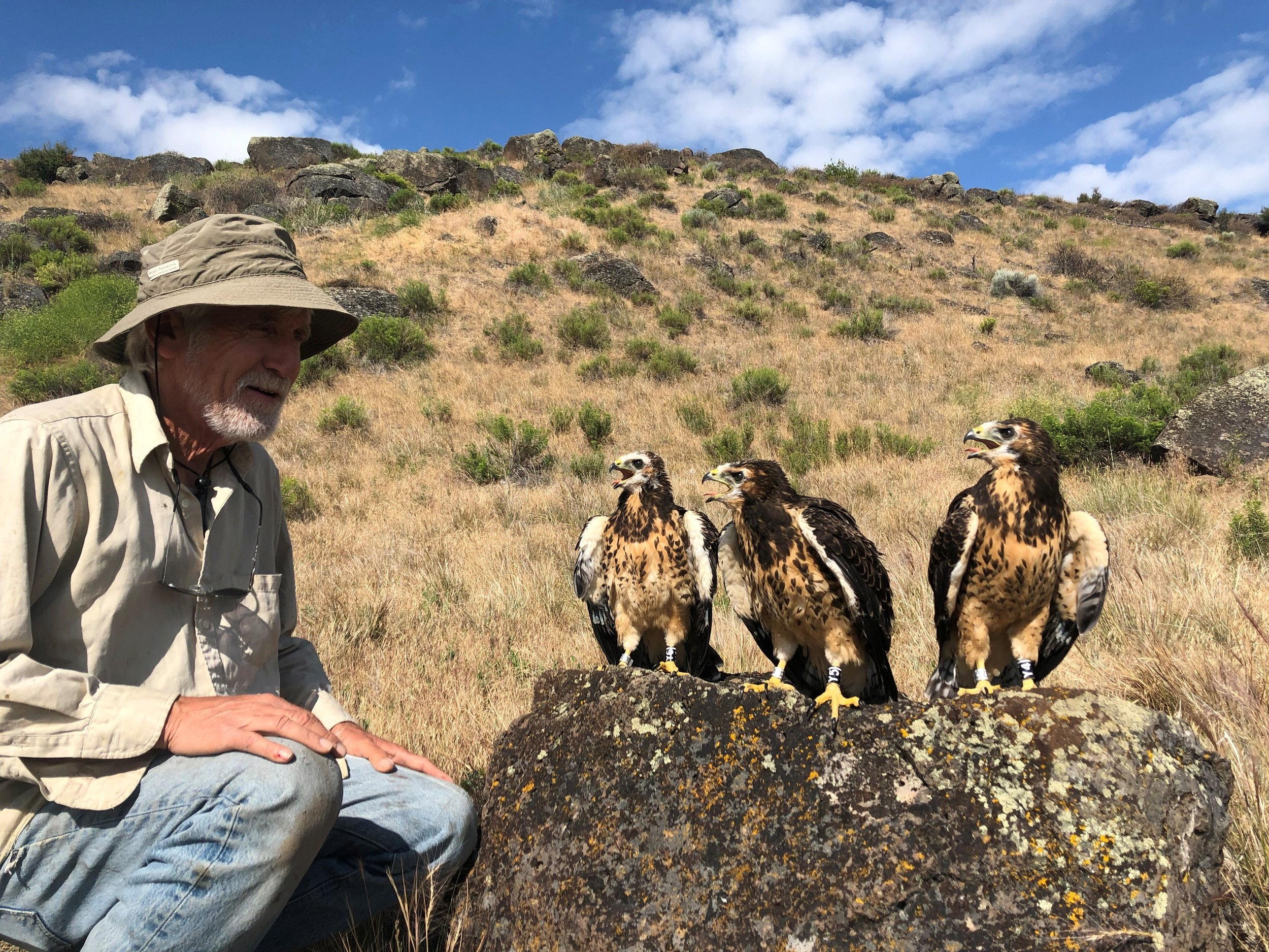 Dr. Pete Bloom with three Swainson's Hawks chicks banded in the Butte Valley - July 2019. (Photo by Geoff Bedrosian)