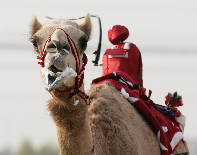A camel foams at the mouth as he is whipped by a robot jockey during a race at Nad al-Sheba on December 6, 2006 in Dubai, United Arab Emirates. (Courtesy Chris Jackson/Getty Images)