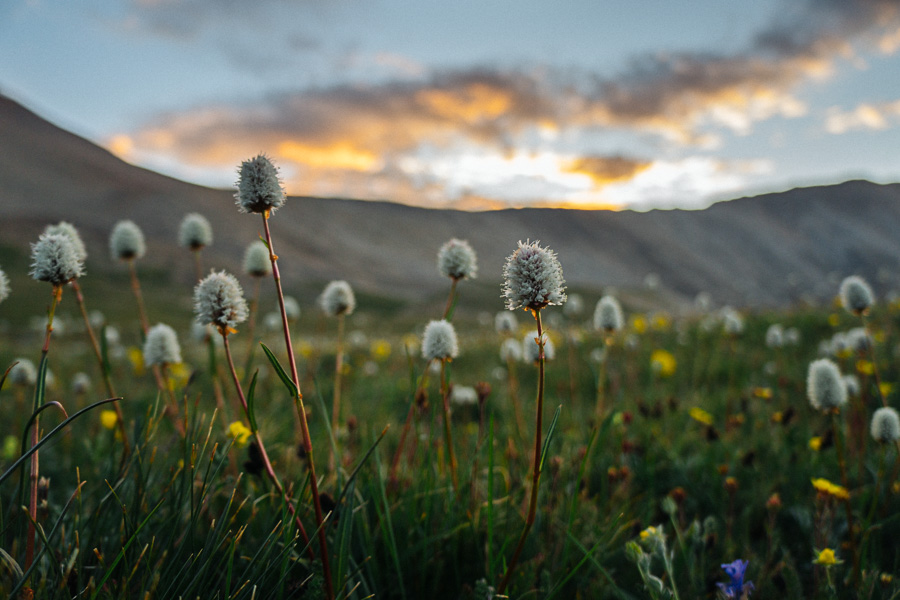 Mt. Sherman Alpine Flowers