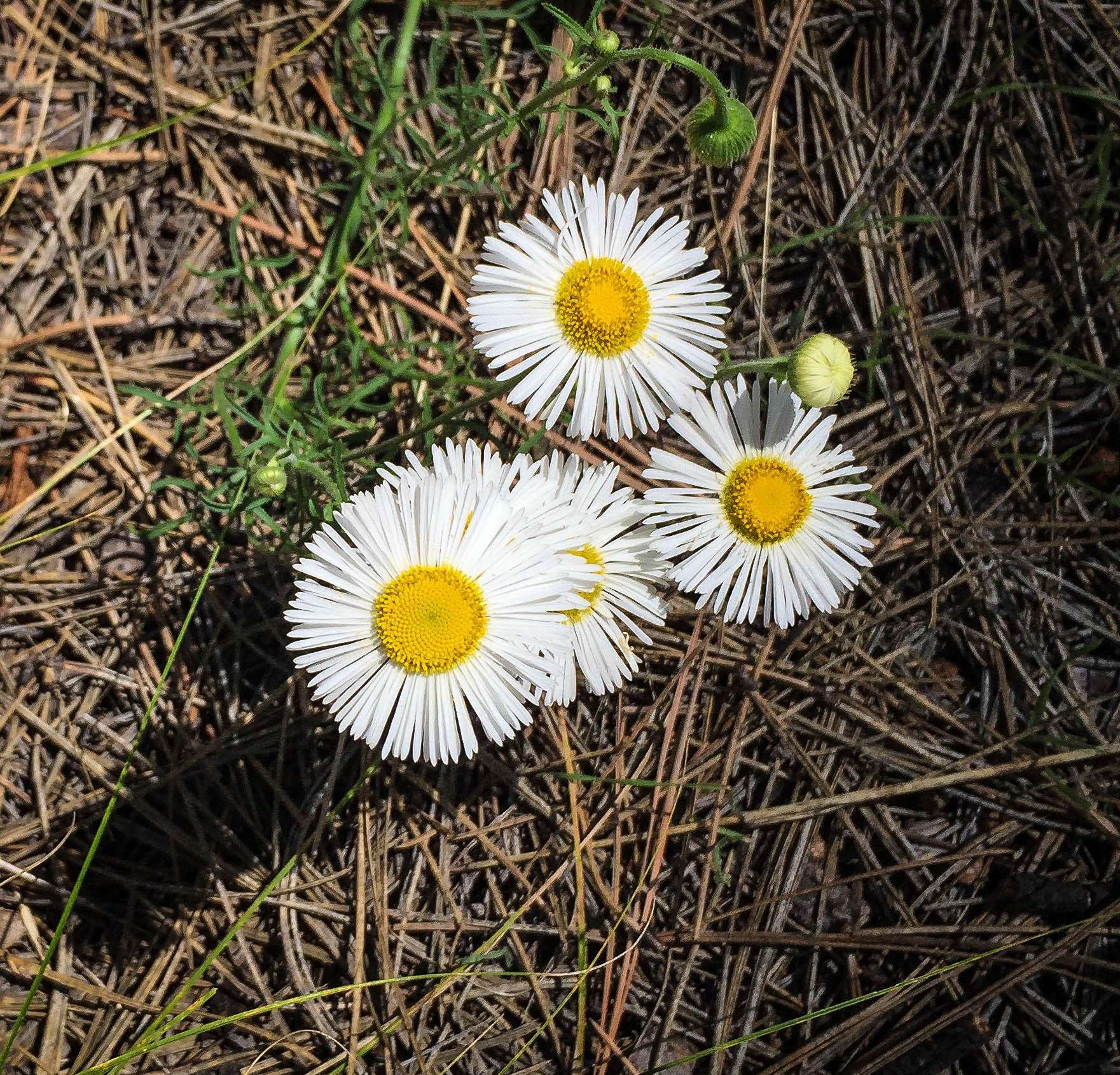 These fringed daisies were quite common along with several varieties of yellow wildflowers and occasional patches of Indian Paintbrush.