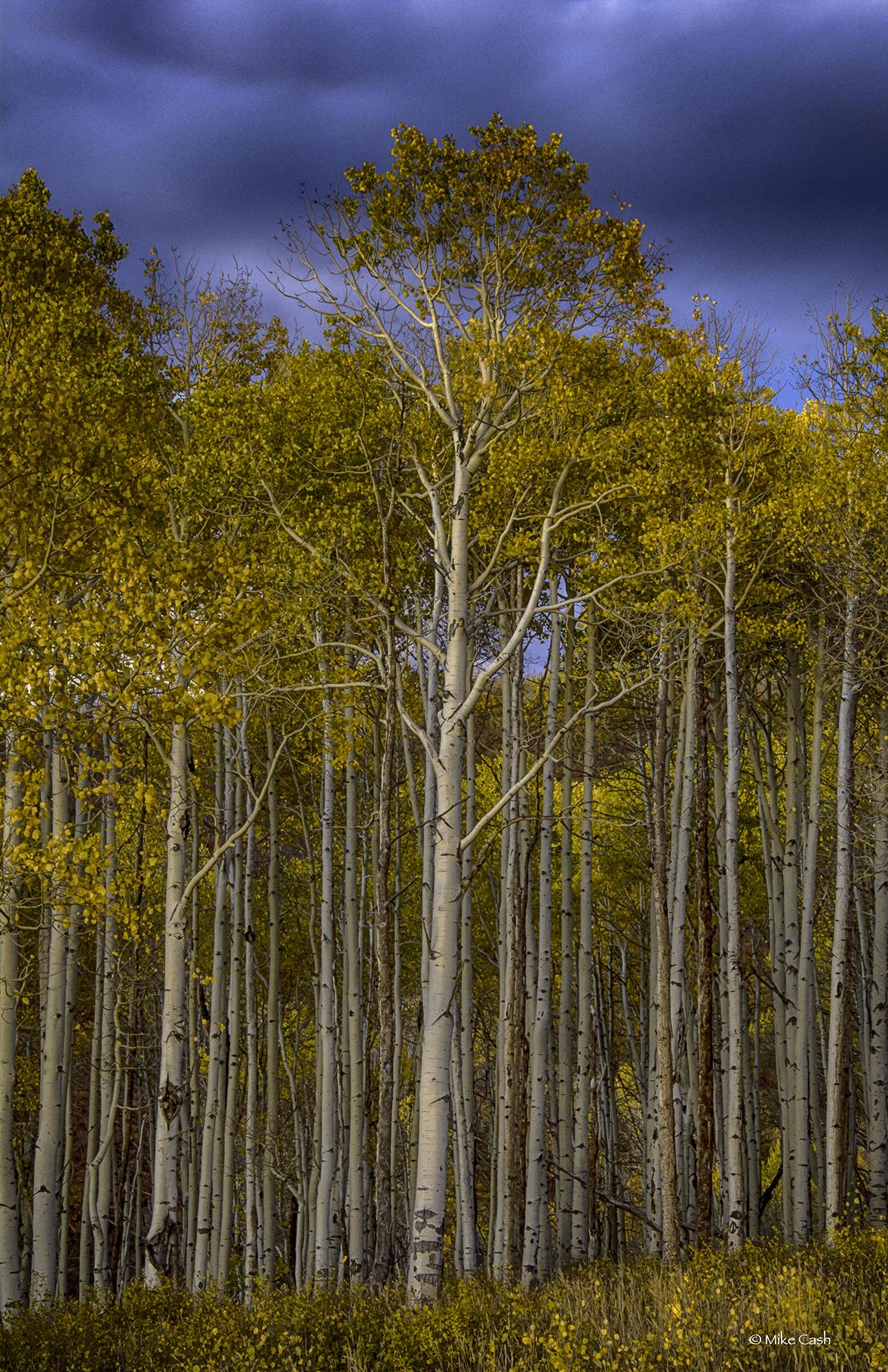 Aspen grove at twilight.