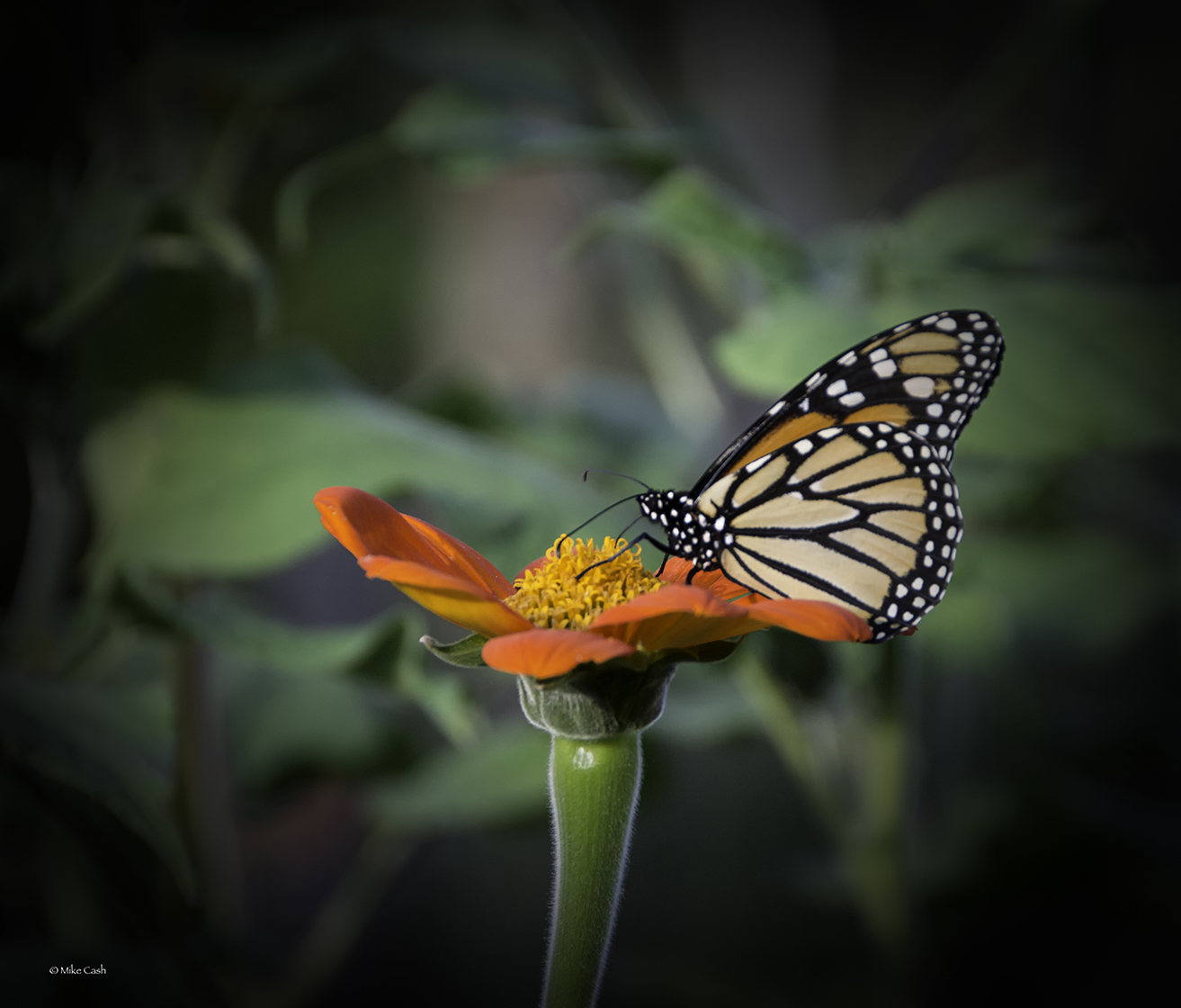 A still-blooming zinnia and a monarch butterfly in mid-October in Indiana? Here's proof!