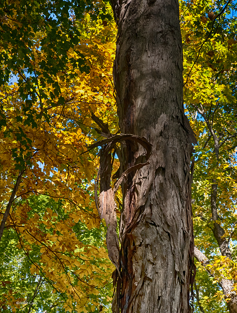 A shag bark hickory tree in front of fall color.
