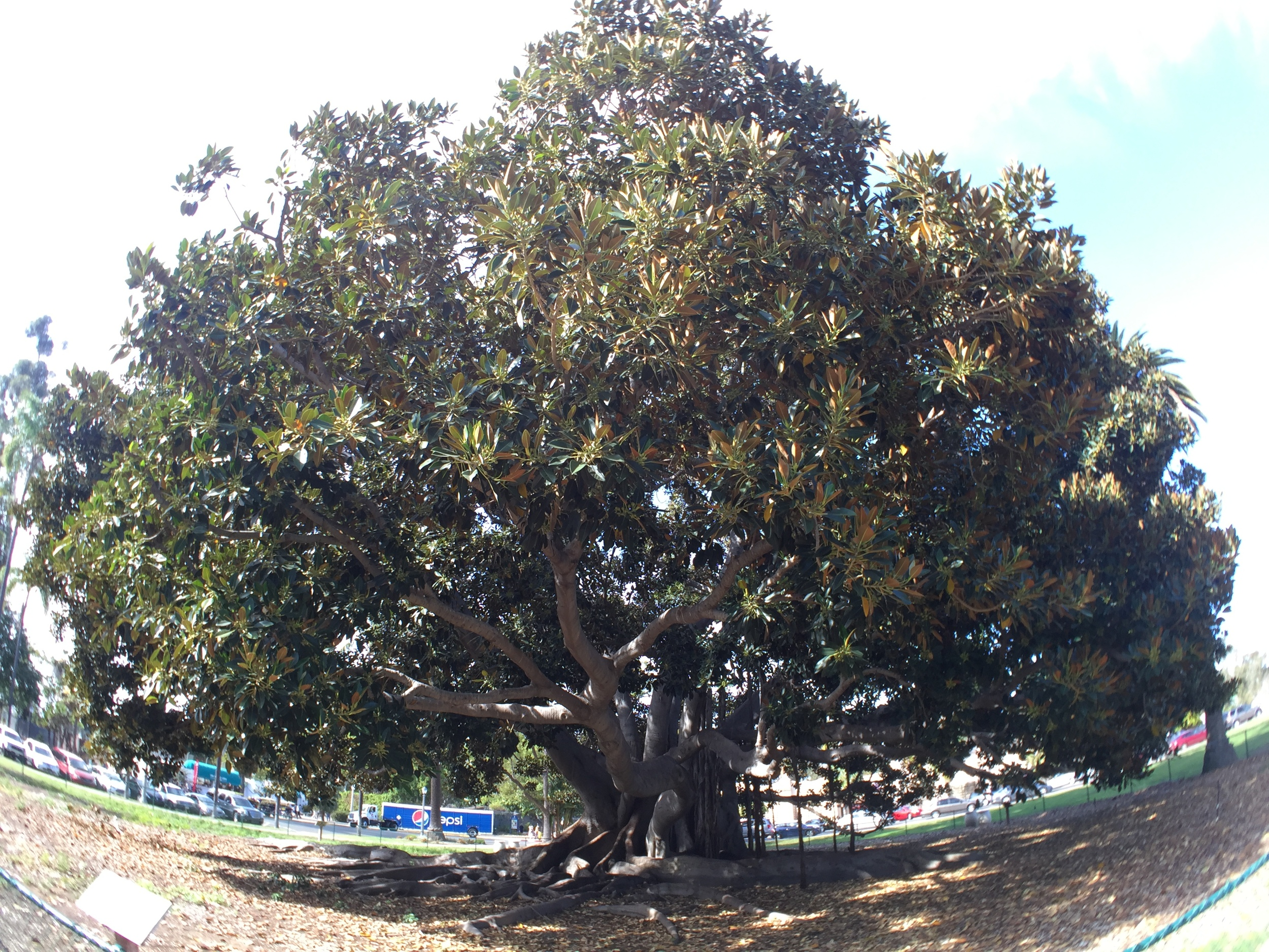 Right outside the  San Diego Museum of Natural History  stood this 90-year-old fig tree. 90-years old is a bit above the Twitter demographic, but I snapped a pic anyway.