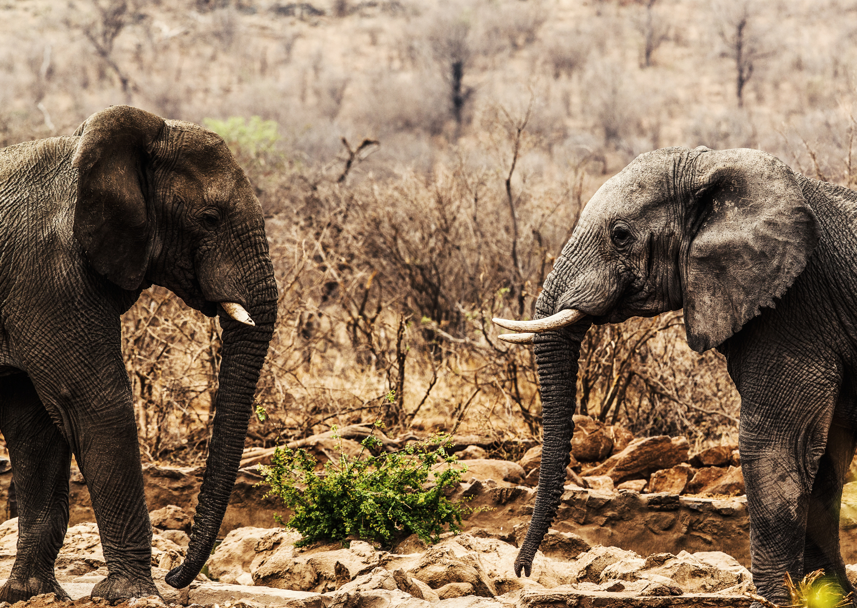 Two male Elephants clamming territory at the local watering hole at Rhulani.