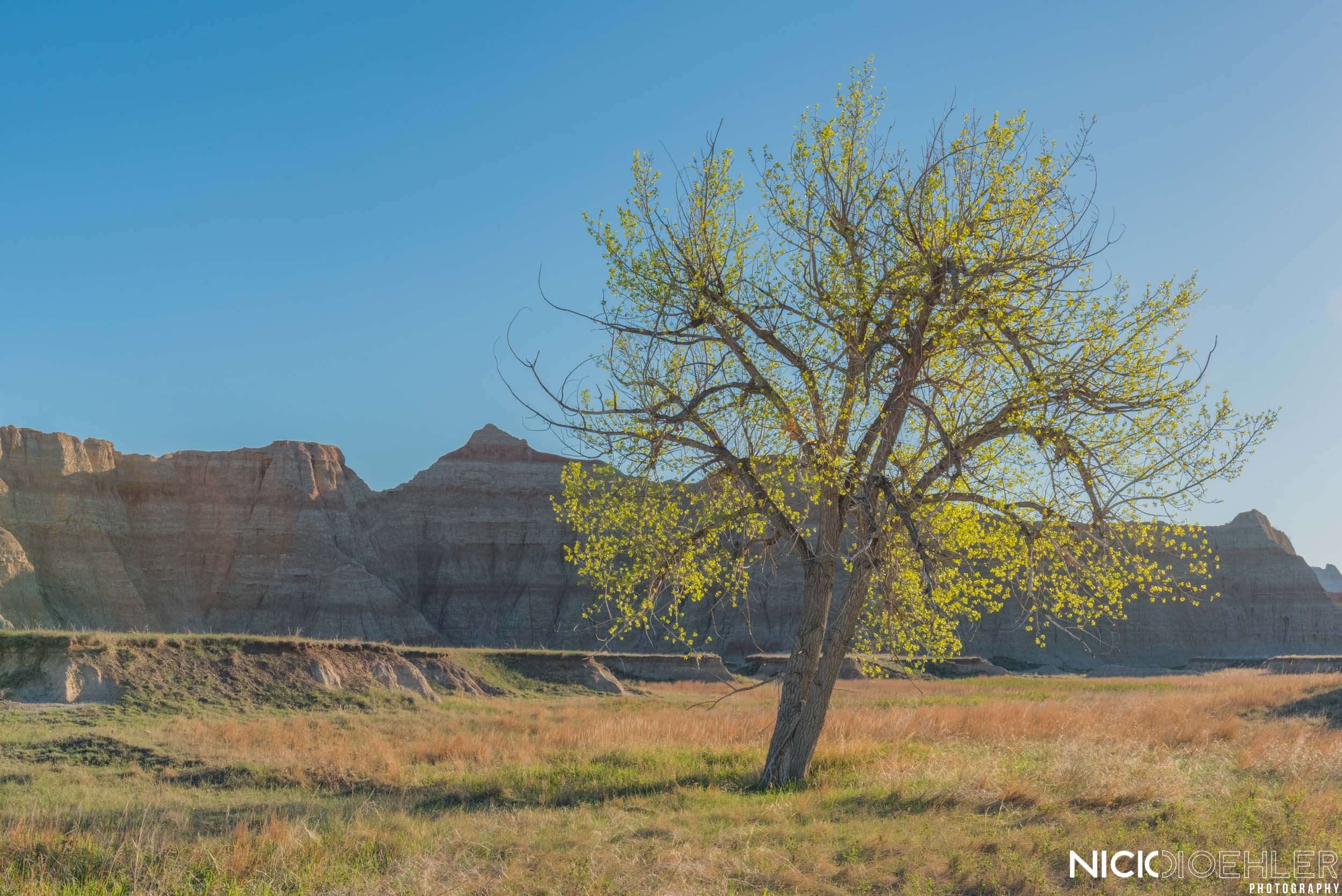 Badlands National Park: Beautiful morning light casting on a tree.