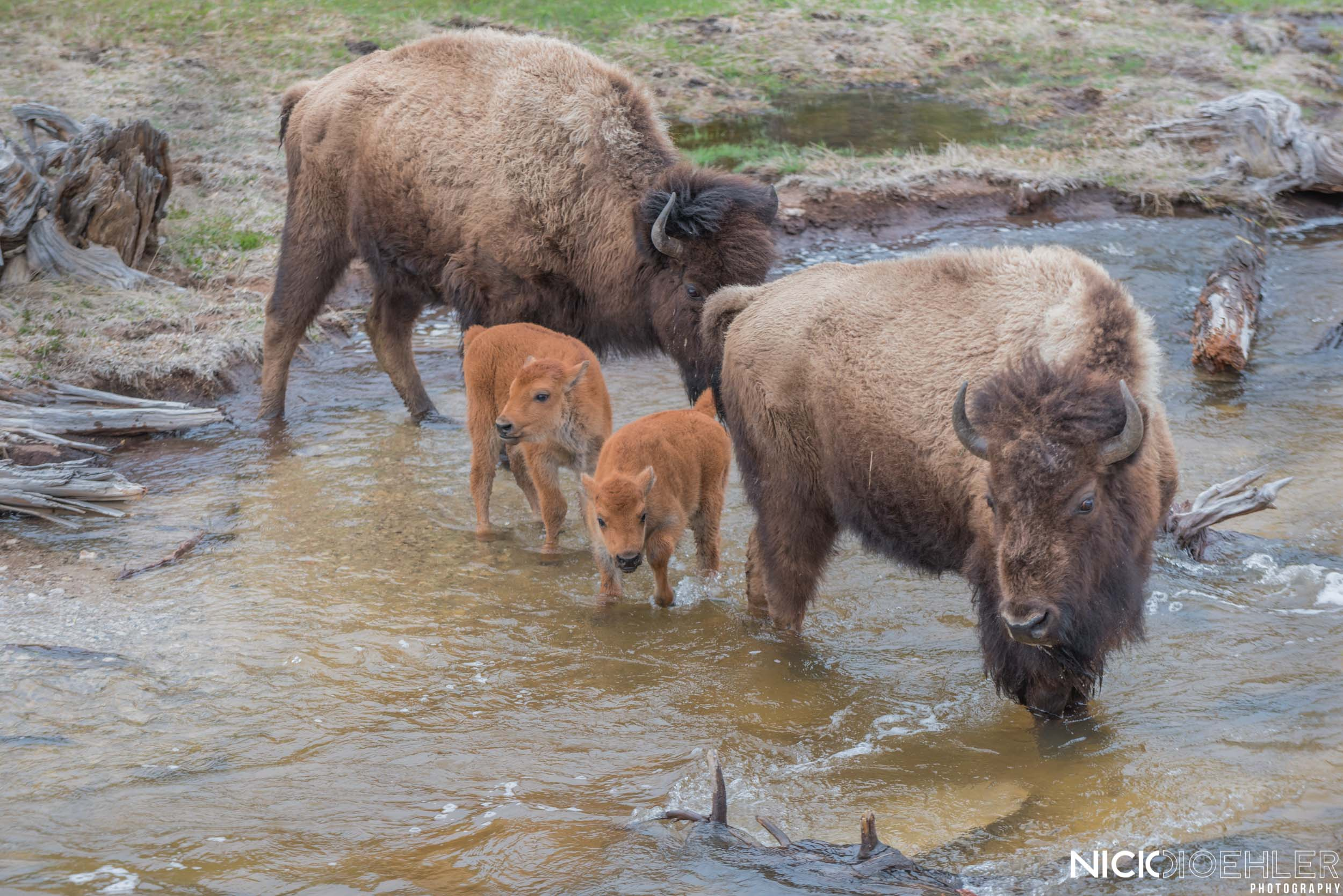 Yellowstone National Park: Bison family crosses creek.