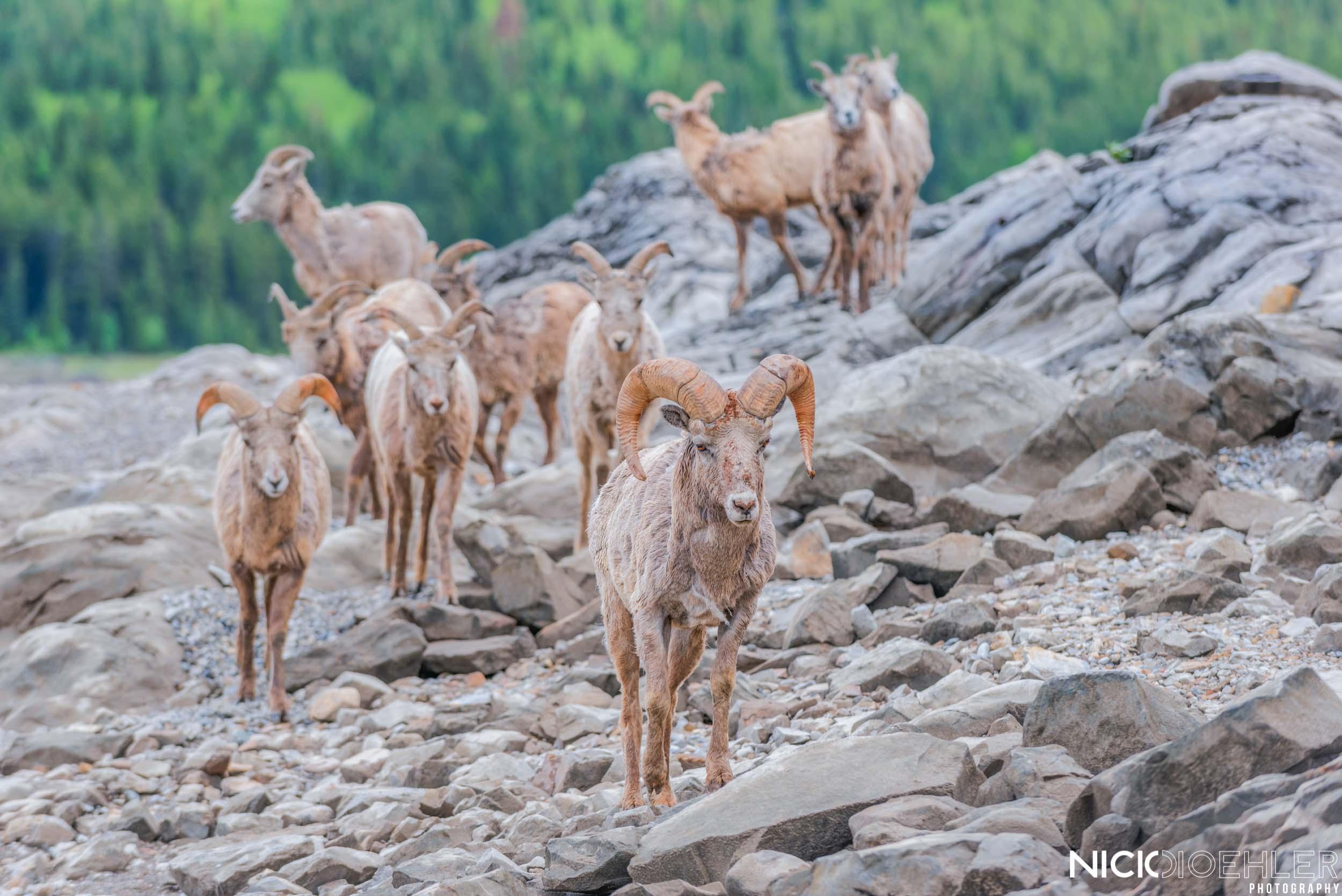 Big Horned Sheep Family