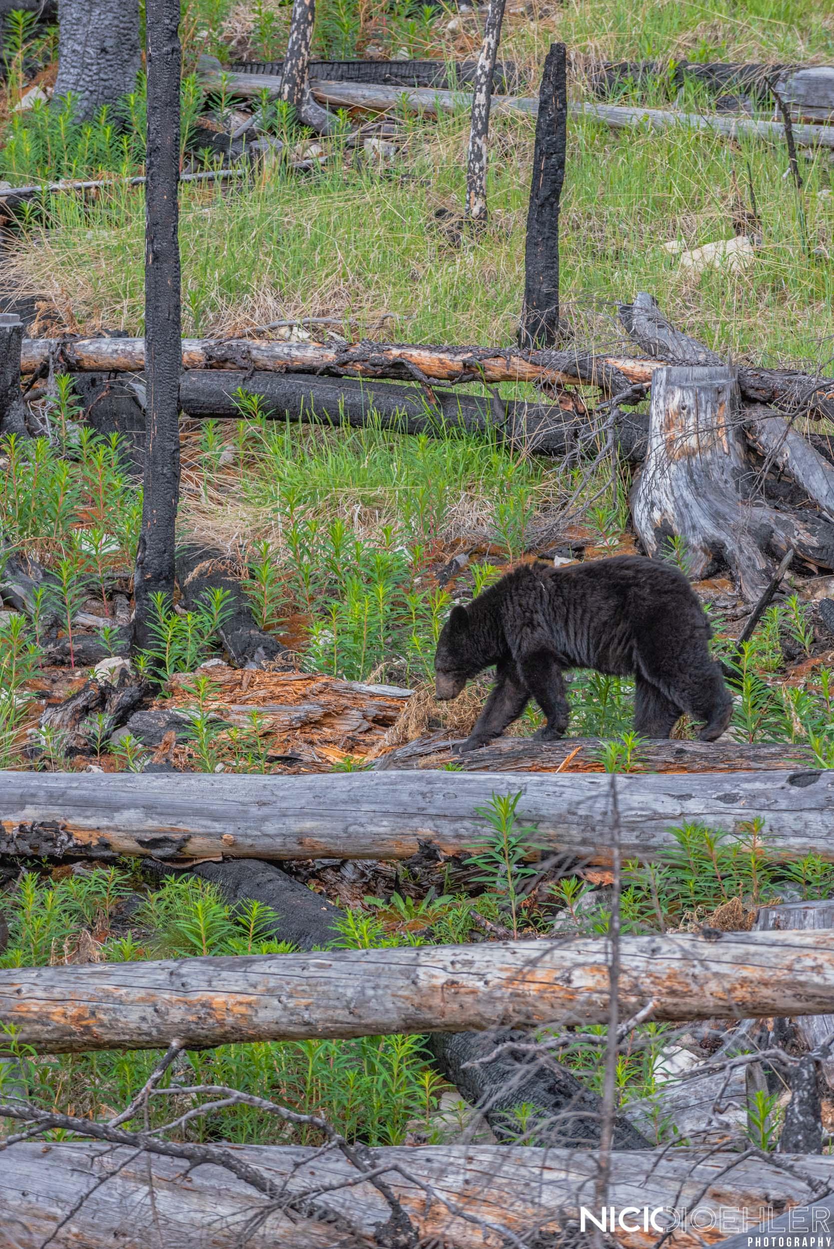 Black Bear balancing act