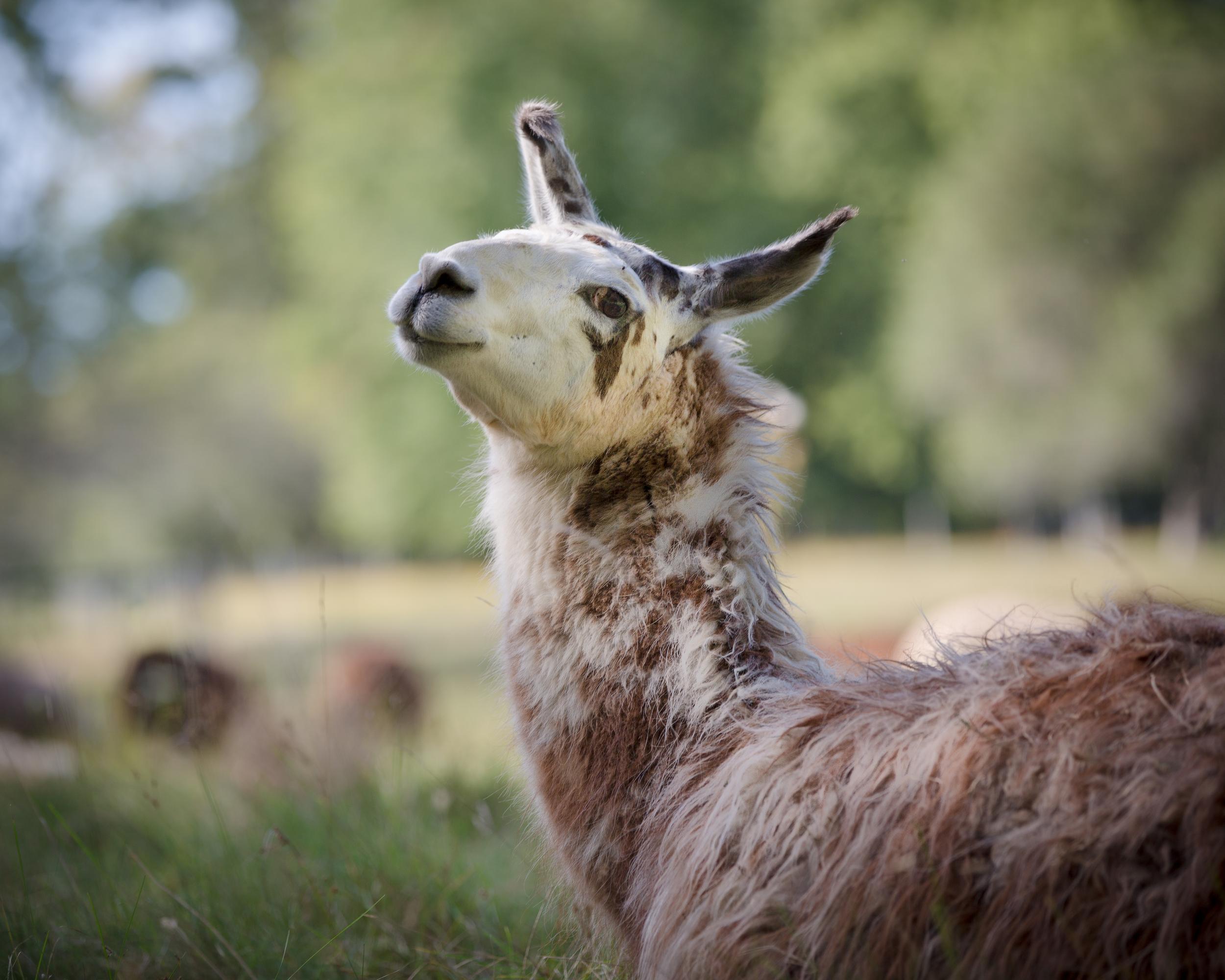 Henry the Llama photo: © Miranda Loud 2014